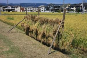 稲のはさがけ